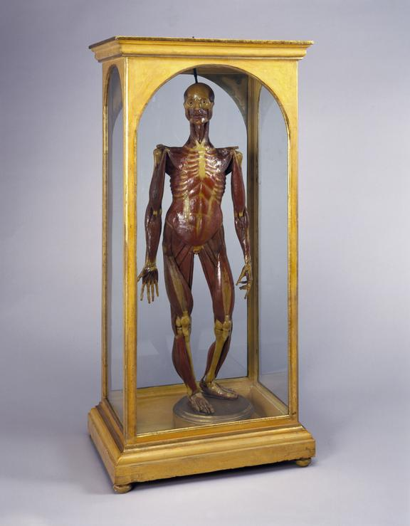 Wax male figure showing muscles, in case. Italian. 18th century. Front three quarter view. Grey background.