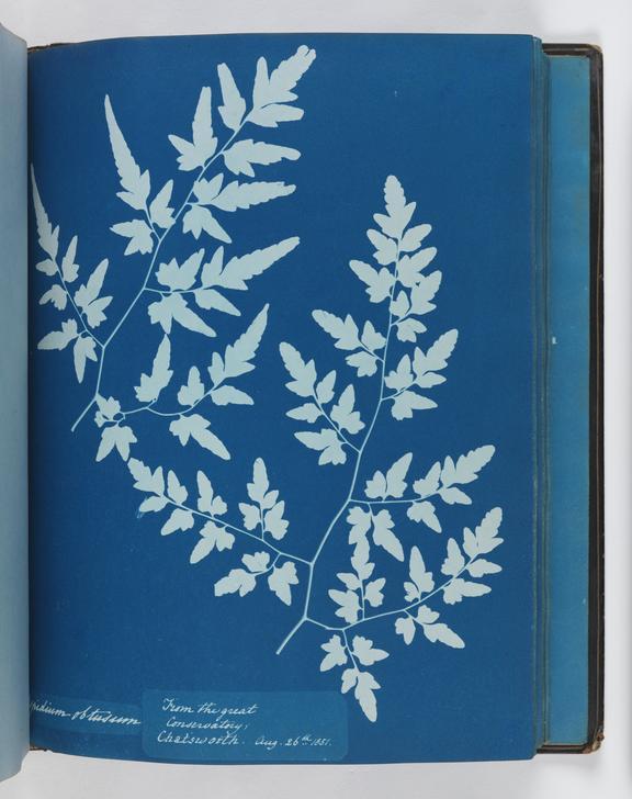 Cyanotype of Aspidium obtusum, 1851       A cyanotype of a fern, Aspidium obtusum, from Chatsworth Conservatory