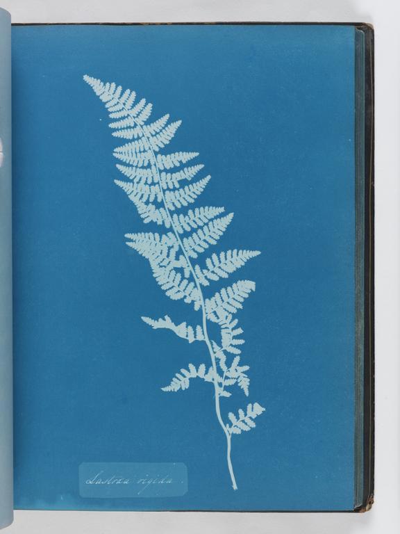 Cyanotype of Lastrea rigida, 1853       A cyanotype of Lastrea rigida, from the album 'Cyanotypes of British and Foreign Ferns'