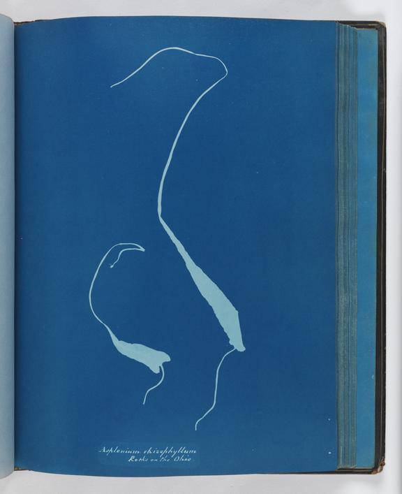 Cyanotype of Asplenium rhizophyllum, 1853        A cyanotype of Asplenium rhizophyllum, from the album 'Cyanotypes of British and Foreign Ferns'