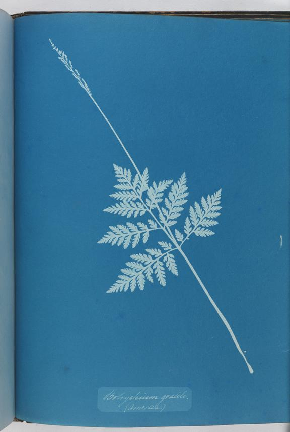 Cyanotype of Botrychium gracile, 1853       A cyanotype of Botrychium gracile, from the album 'Cyanotypes of British and Foreign Ferns'