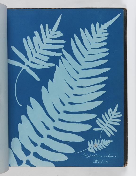 Cyanotype of Polypodium vulgare, 1853       A cyanotype of Polypodium vulgare, from 'Cyanotypes of British and Foreign Ferns'
