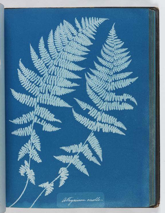 Cyanotype of Athyrium molle, 1853       A cyanotype, from the album 'Cyanotypes of British and Foreign Ferns', made by Anna Atkins (1799-1871) in 1853