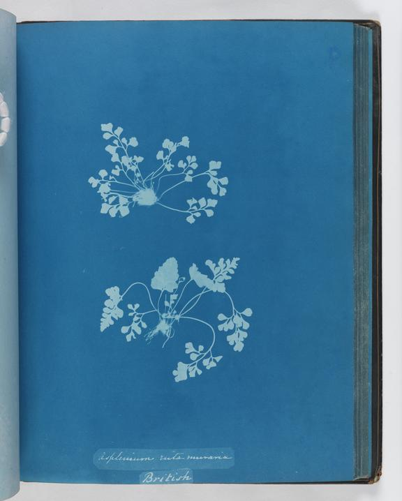 Cyanotype of Asplenium ruta muraria, 1853       A cyanotype, from the album 'Cyanotypes of British and Foreign Ferns', made by Anna Atkins (1799-1871) in 1853