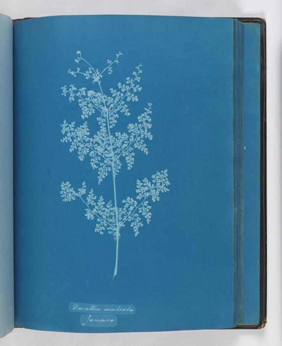 Cyanotype of Davallia aculeata, 1853       A cyanotype of Davallia aculeata, from the album 'Cyanotypes of British and Foreign Ferns'
