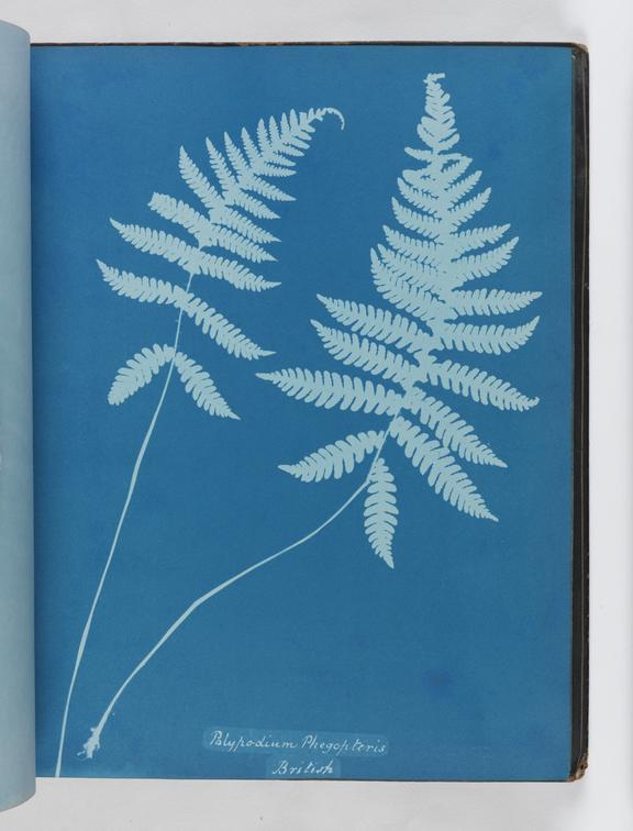 Cyanotype of Polypodium phegopteris, 1853       A cyanotype of Polypodium phegopteris, from the album 'Cyanotypes of British and Foreign Ferns'