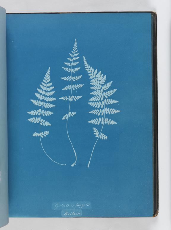 Cyanotype of Cystopteris fragilis, 1853       A cyanotype of Cystopteris fragilis, from the album 'Cyanotypes of British and Foreign Ferns'