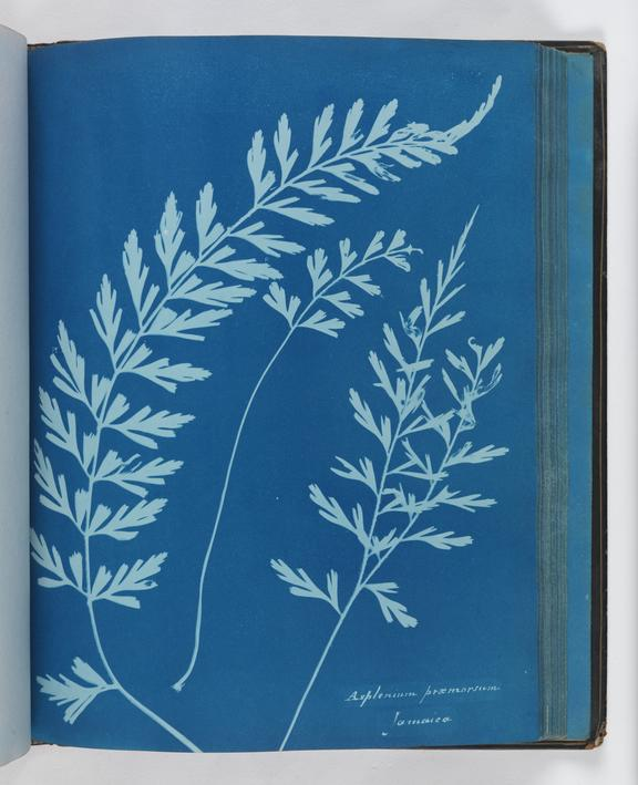 Cyanotype of Asplenium praemorsum', 1853       A cyanotype, from 'Cyanotypes of British and Foreign Ferns' made by Anna Atkins (1799-1871) in 1853