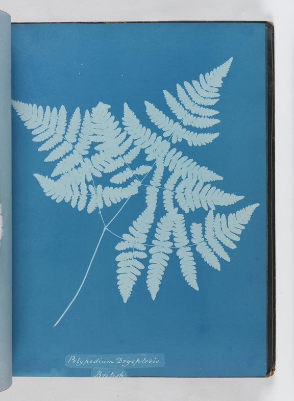Cyanotype of Polypodium dryopteris, 1853       A cyanotype of Polypodium dryopteris, from 'Cyanotypes of British and Foreign Ferns'