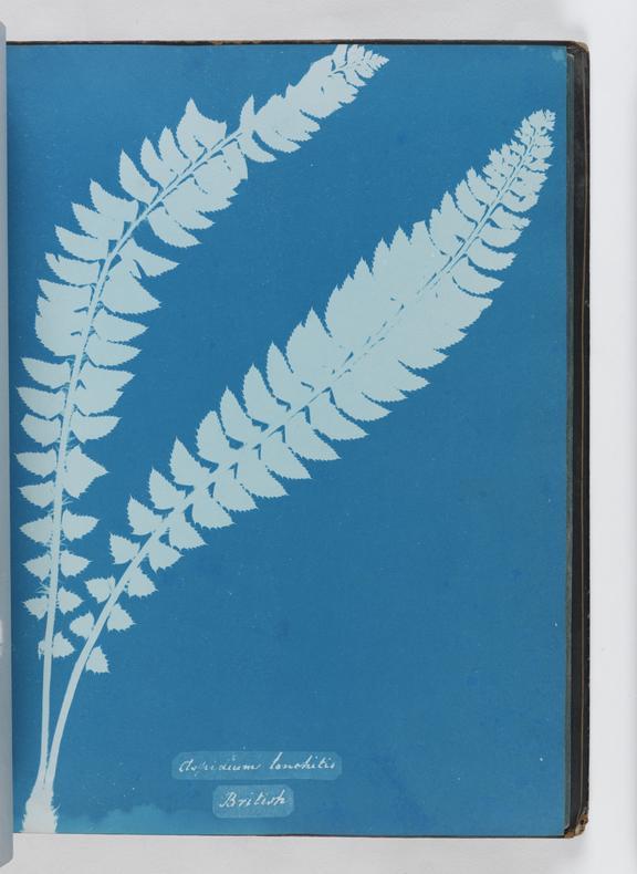 Cyanotype of Aspidium lonchitis, 1853       A cyanotype of Aspidium lonchitis, from 'Cyanotypes of British and Foreign Ferns'