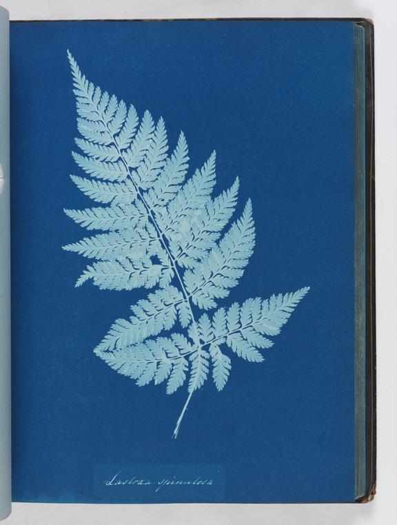 Cyanotype of Lastrea spinulosa, 1853       A cyanotype of Lastrea spinulosa, from 'Cyanotypes of British and Foreign Ferns'
