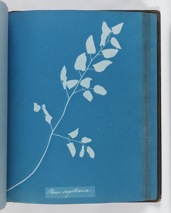 Cyanotype of Pteris sagittaria, 1853       A cyanotype of Pteris sagittaria, from 'Cyanotypes of British and Foreign Ferns'