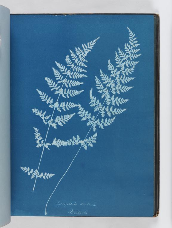 Cyanotype of Cystopteris dentata, 1853       A cyanotype of Cystopteris dentata, from 'Cyanotypes of British and Foreign Ferns'