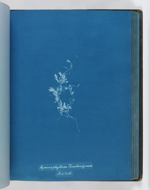 Cyanotype of Hymenophyllum tunbridgense, 1853       A cyanotype of Hymenophyllum tunbridgense, from 'Cyanotypes of British and Foreign Ferns'