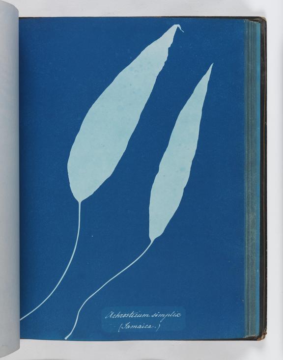 Cyanotype of Achrosticum simplix, 1853       A cyanotype of Achrosticum simplix, from 'Cyanotypes of British and Foreign Ferns'