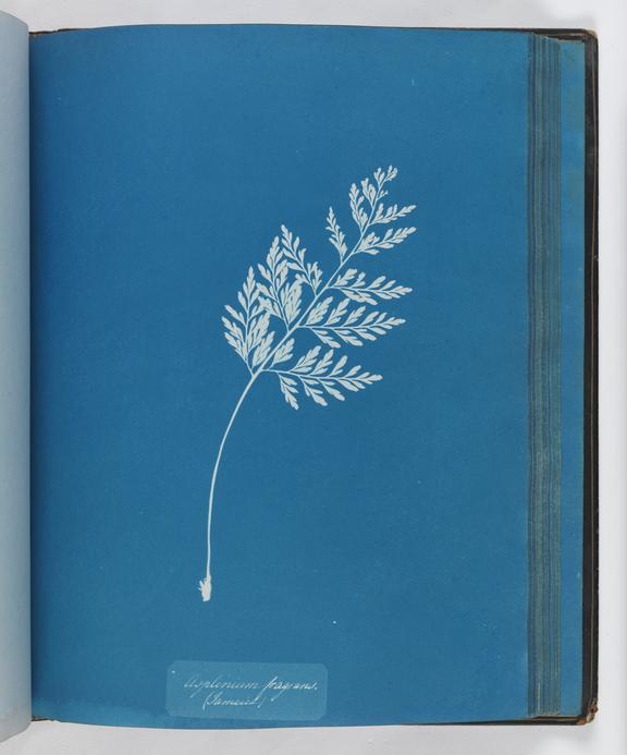 Cyanotype of Asplenium fragrans, 1853       A cyanotype of Asplenium fragrans, from 'Cyanotypes of British and Foreign Ferns'