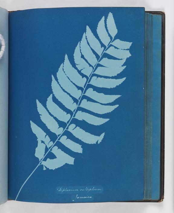 Cyanotype of Diplazium cultifolium, 1853       A cyanotype of Diplazium cultifolium, from 'Cyanotypes of British and Foreign Ferns'
