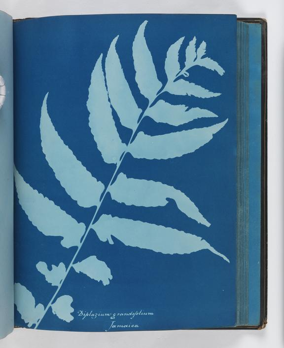 Cyanotype of Diplazium grandifolium, 1853       A cyanotype of Diplazium grandifolium, from 'Cyanotypes of British and Foreign Ferns'