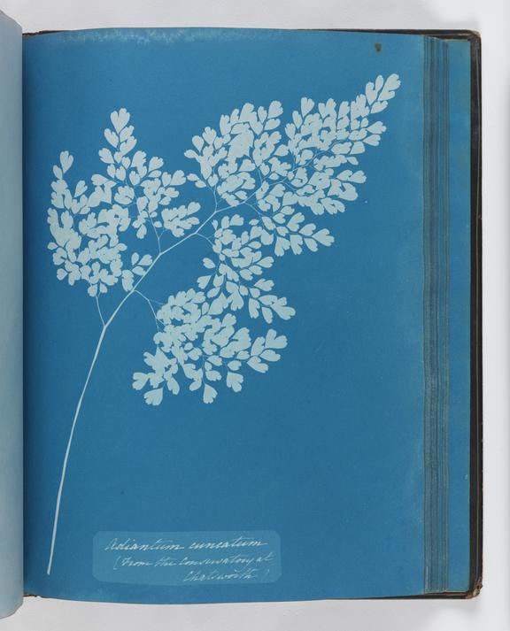 Cyanotype of Adiantum cuneatum, 1853       A cyanotype of Adiantum cuneatum, from 'Cyanotypes of British and Foreign Ferns'