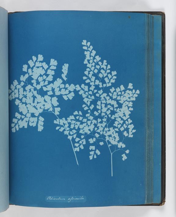 Cyanotype of Adiantum assmile, 1853       A cyanotype, from 'Cyanotypes of British and Foreign Ferns', made by Anna Atkins (1799-1871) in 1853