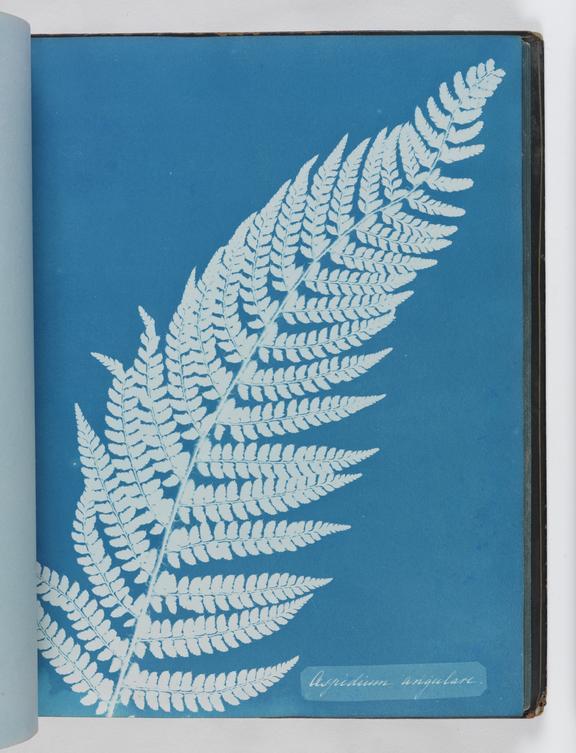 Cyanotype of Aspidium angulare, 1853       A cyanotype of Aspidium angulare, from 'Cyanotypes of British and Foreign Ferns'