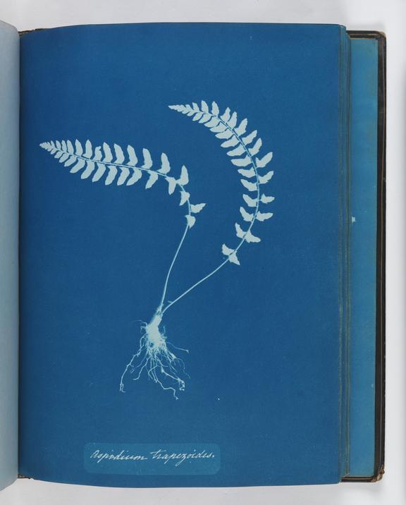 Cyanotype of Aspidium trapezoides, 1853       A cyanotype of Aspidium trapezoides, from 'Cyanotypes of British and Foreign Ferns'