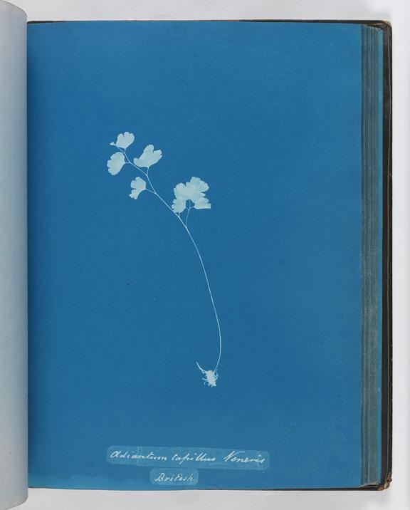 Cyanotype of Adiantum capillus veneris, 1853       A cyanotype of Adiantum capillus veneris, from 'Cyanotypes of British and Foreign Ferns'