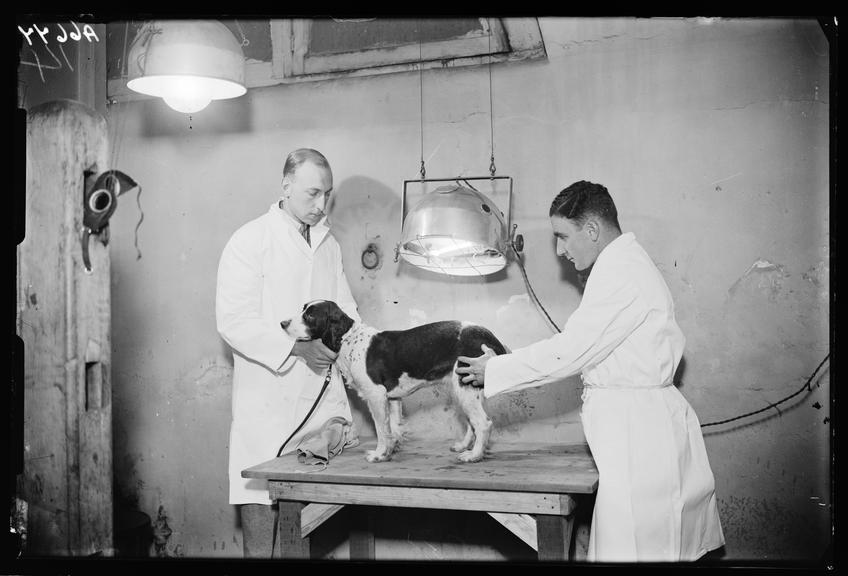Sun-ray treatment for a dog       A photograph of a dog having light treatment, presumably from an ultra violet lamp