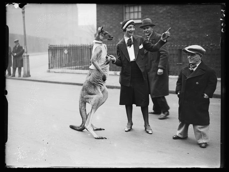 'Kangaroo on London street'       A photograph of a kangaroo appearing to be given directions on a London street