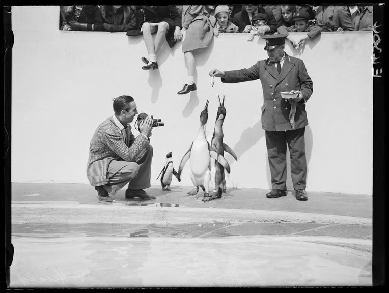 Walt Disney filming penguins at London Zoo       A photograph of Walt Disney filming penguins at London Zoo, taken in 1935 by Edward Malindine for the Daily Herald