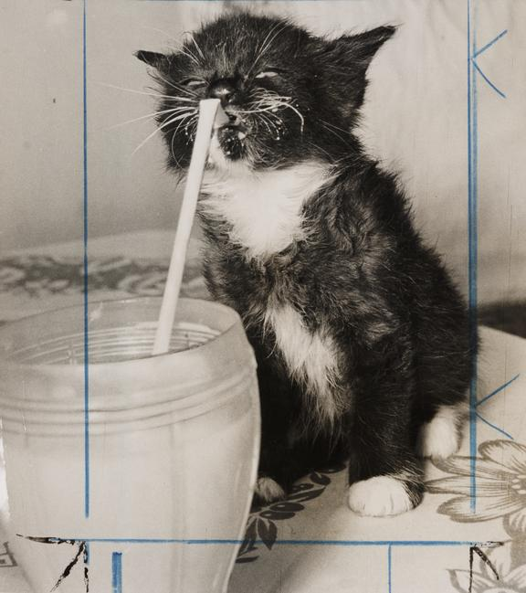 Kitten drinking milk through a straw       A photograph of a kitten drinking milk through a straw, taken in 1957 by an unknown photographer for the Daily Herald.