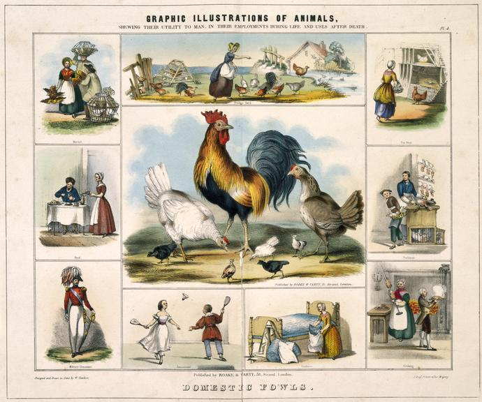 print: coloured lithograph: 'Domestic fowls' / by Benjamin Waterhouse Hawkins, [c1850], Plate IV from the volume