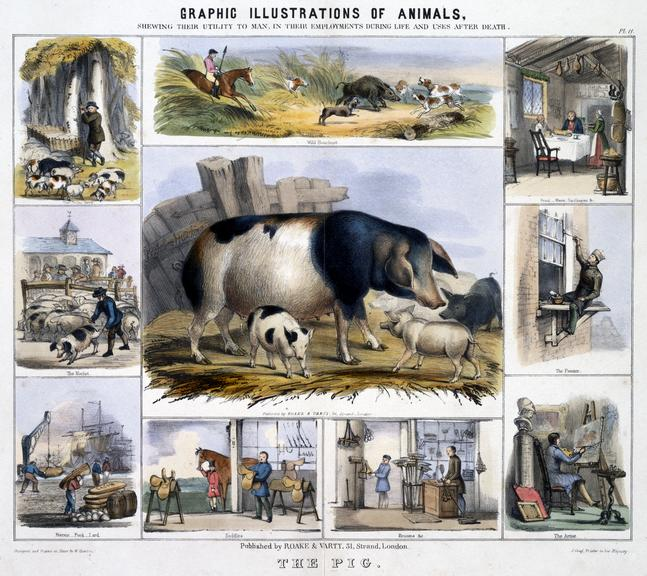 """print: coloured lithograph: 'The Pig' / by Benjamin Waterhouse Hawkins, [c1850], Plate XI from the volume """"Graphic"""