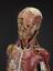 Anatomical model, male.