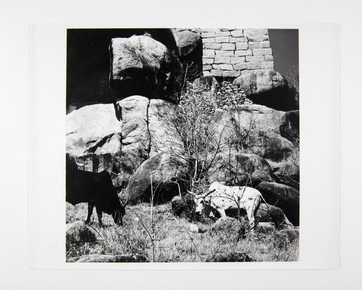 Andor Kraszna Krausz Collection. Silver gelatin copy print made ca.1970s. Photograph by Sir Cecil Beaton of cattle