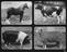 Images of horse, cow, sheep and pig with the number of hours that they are allow